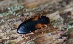 Mycetochara flavipes