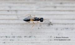 Mymaridae sp.