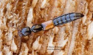 Nudobius lentus