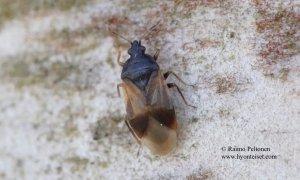 Orius niger 1