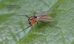 Orthocladiinae sp. 4
