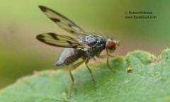 Palloptera umbellatarum 2