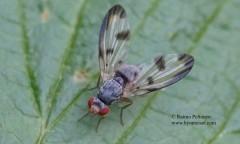 Palloptera umbellatarum 1