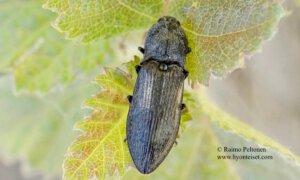 Paraphotistus impressus