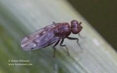 Parydra quadripunctata 3