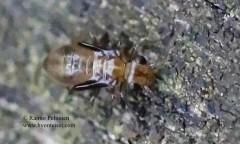 Peripsocus sp.