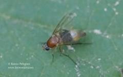 Phalacrotophora sp. 2