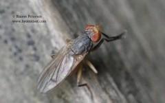 Pherbellia cf. pallidiventris 2