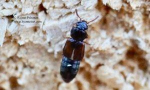 Phloeostiba sp./Phloeonomus sp.