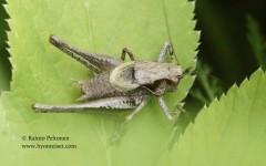 Pholidoptera griseoaptera 1