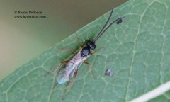 Phygadeuontinae sp. 2