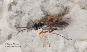 Phygadeuontinae sp. 1