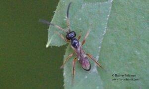 Phygadeuontinae sp. 4
