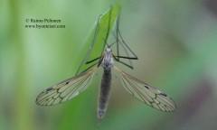 Phylidorea bicolor