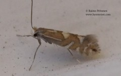 Phyllonorycter cf. strigulatellus 2