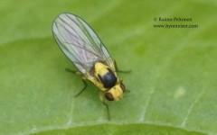 Phytoliriomyza melampyga 1