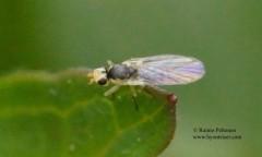 Phytomyza flavicornis 1