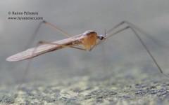 Pilaria cf. discicollis 2