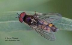 Platycheirus cf. clypeatus