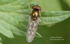 Platycheirus peltatus 1