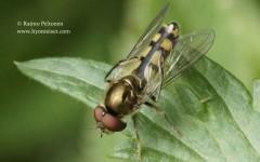 Platycheirus peltatus 2