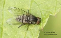 Platypeza fasciata