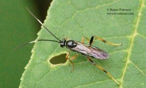 Poecilostictus cothurnatus