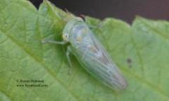 Populicerus albicans