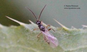 Proctotrupidae sp. 4