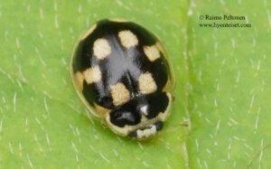 Propylea quatuordecimpunctata 3