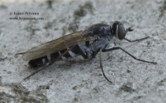 Psilocephala imberbis 2