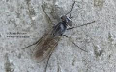 Psilocephala imberbis 1