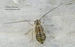 Psococerastis gibbosa 2