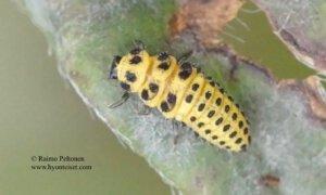 Psyllobora vigintoduopunctata 3