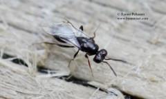 Pteromalidae: Asaphes vulgaris 1