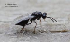 Pteromalidae: Asaphes vulgaris 2