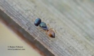 Pteromalidae: Callitula pyrrhogaster