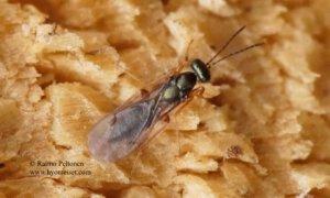 Pteromalidae: Macromesus amphiretus 1