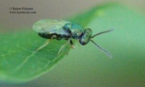 Pteromalidae: Pteromalinae sp. 2
