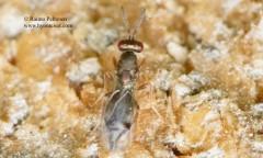 Pteromalidae: Pteromalinae sp.