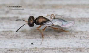 Pteromalidae sp. 2