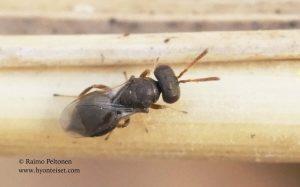 Pteromalidae sp. 4