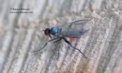 Rhamphomyia pilifer 2