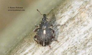 Rhinoncus leucostigma