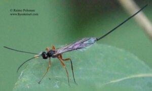 Rhyssella approximator 2