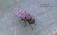 Scatella cf. lacustris 1