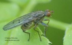 Scathophaga furcata 2