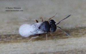 Scelionidae sp. 1
