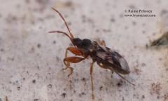 Scolopostethus pictus 2