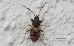 Scolopostethus thomsoni 4